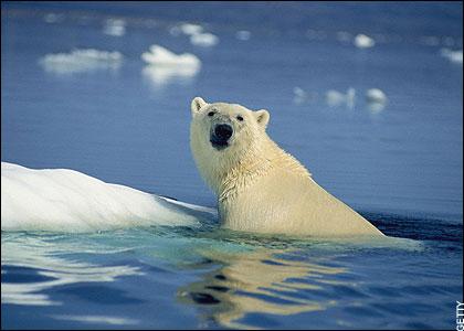 polar bear1 1