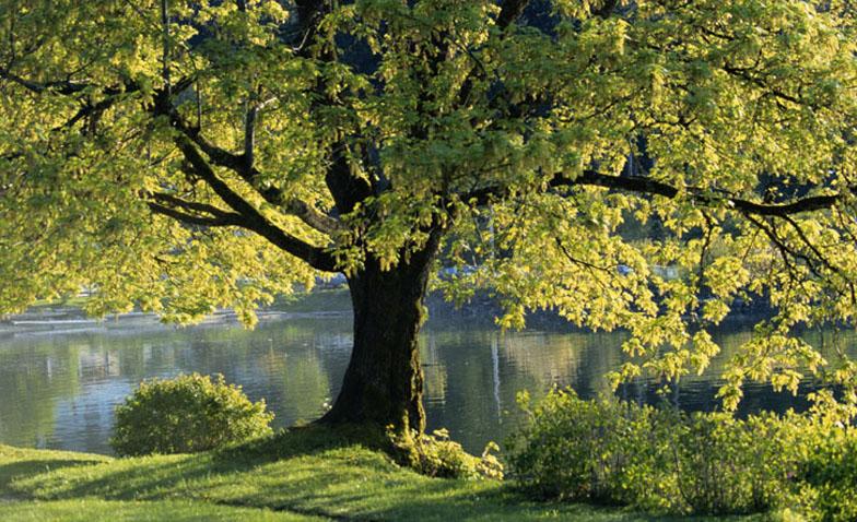 bg tree1