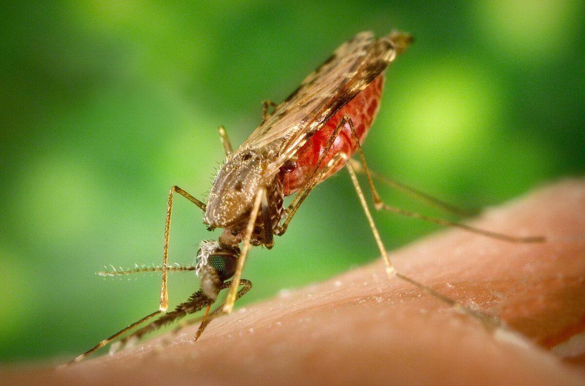 1280px Anopheles albimanus mosquito